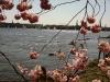 alster-fruehling-kirschbluete
